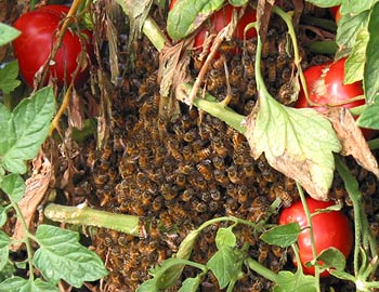 Swarm of Honeybees - A Welcome Guest