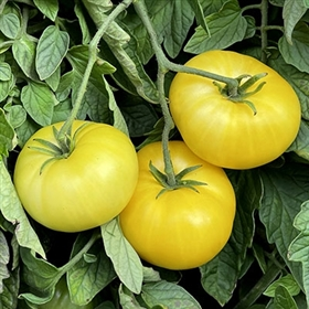 Top 10 Heirloom Tomatoes